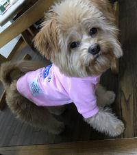 名前:チョコ 犬種:MIX(ポメラニアン×トイプードル) 体重:4.2kg 購入:トレーナーMサイズ